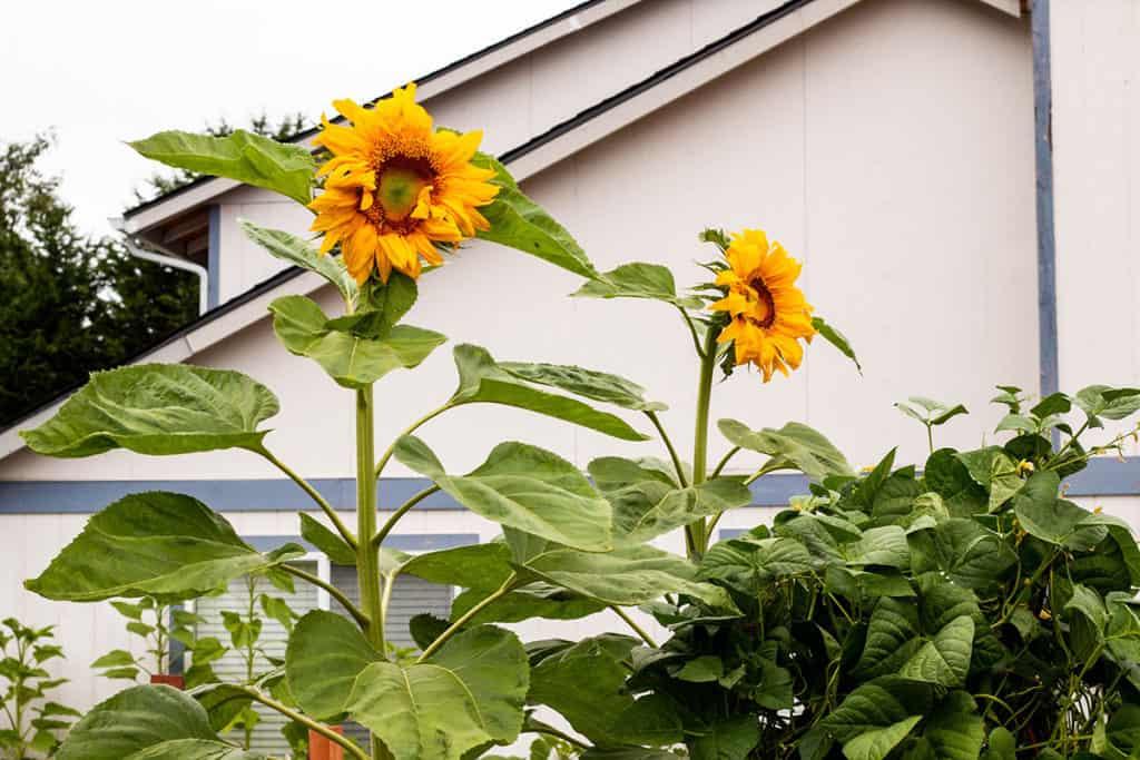 Gigantic Sunflowers in my backyard garden.