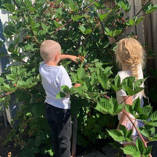 Kids picking and Eating Blackberries