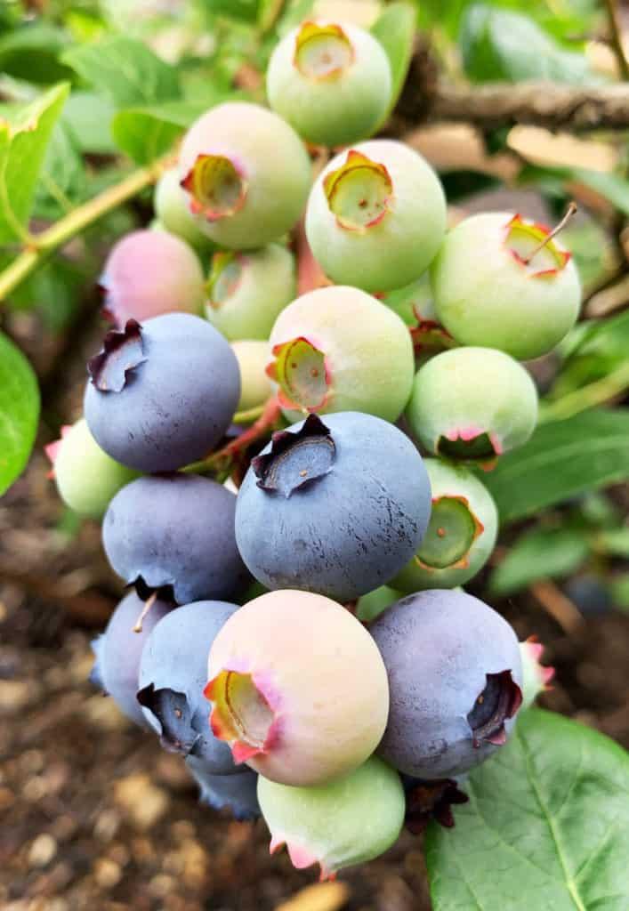 Homegrown blueberry plants in my backyard garden.