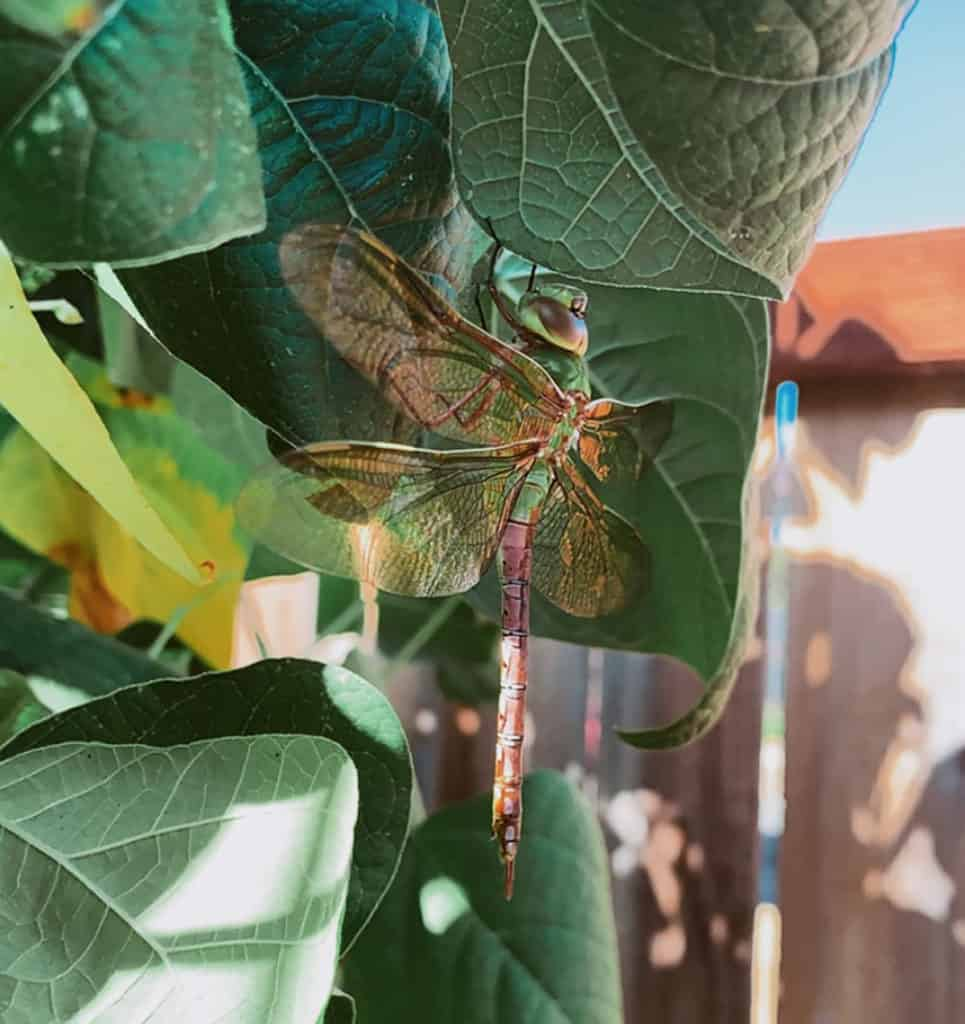 dragonfly on green bean plants