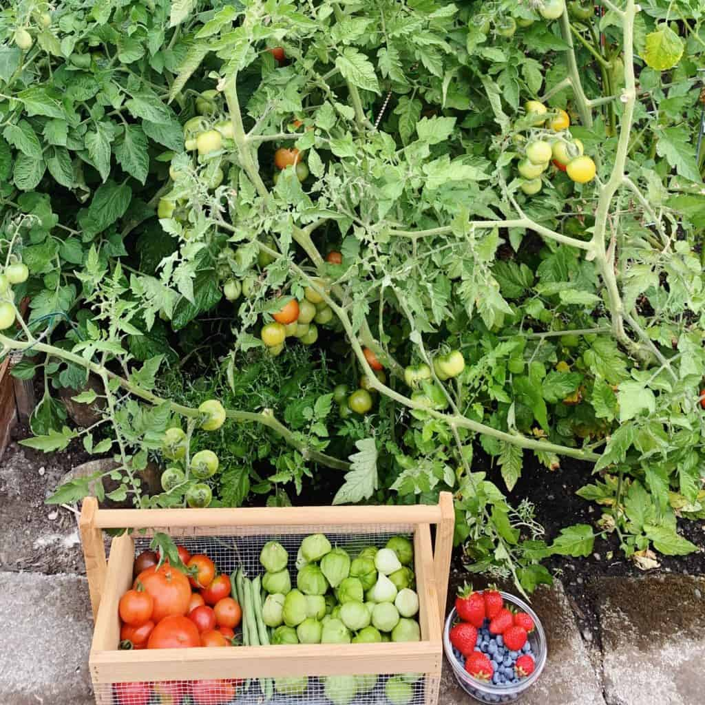 Homegrown tomato plants in my backyard garden. Basket full of tomatoes, tomatillos and berries.