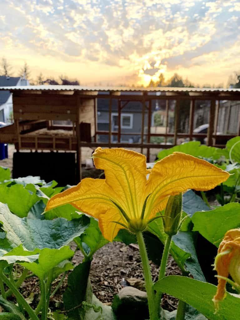 Sunrise on my backyard garden with pumpkin plants.