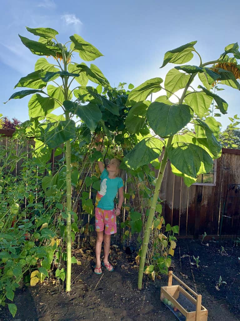 Backyard garden with a green beans and gigantic sunflowers.