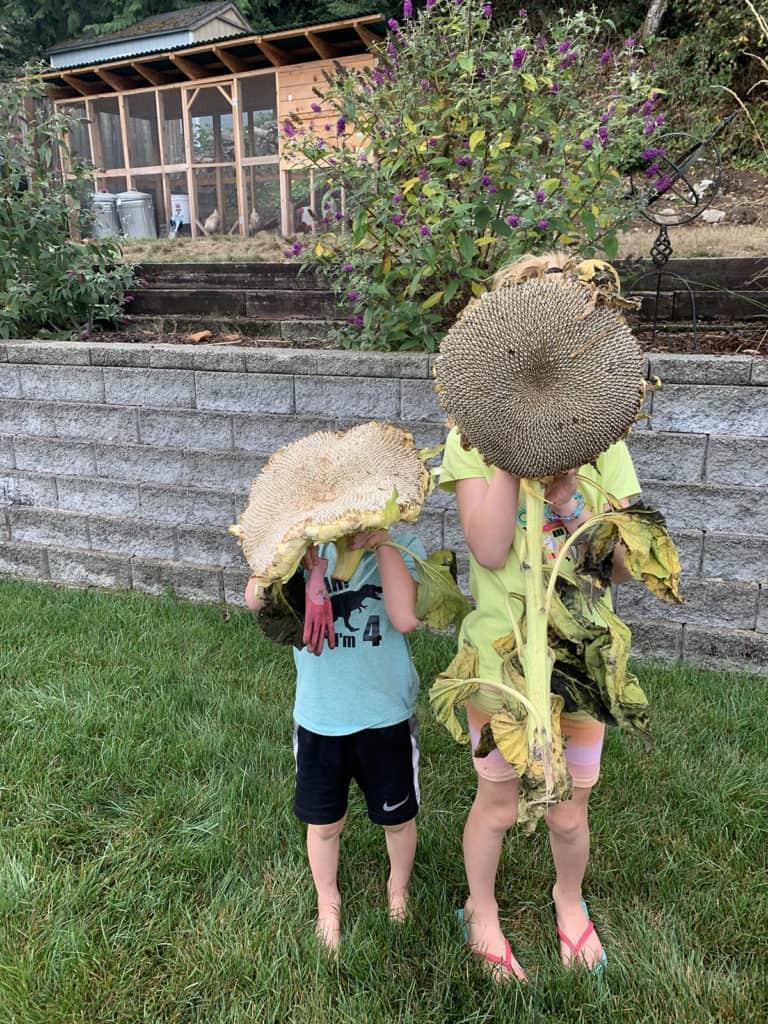 Kids holing gigantic sunflower heads from our backyard garden.