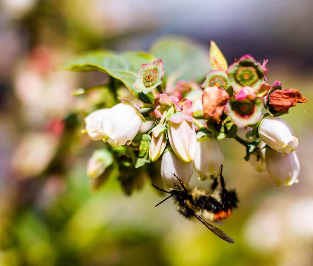 Bee pollinating. blueberry flowers