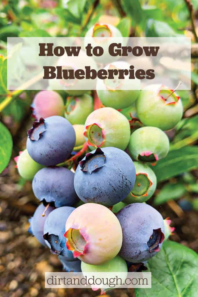 How to Grow Fresh Homegrown Blueberries