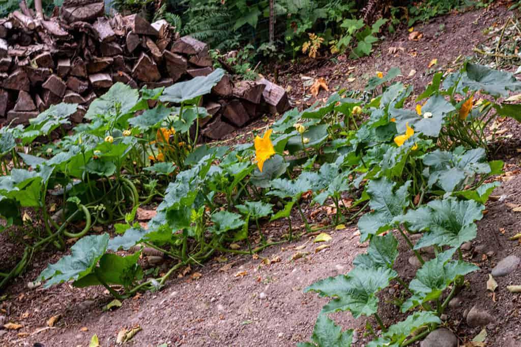 Pumpkin plants growing in a in-ground garden