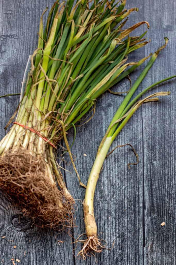 Walla Walla sweet onion seedlings.