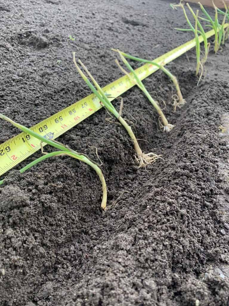 """Onion Seedlings planted in a trench 4-5"""" apart"""